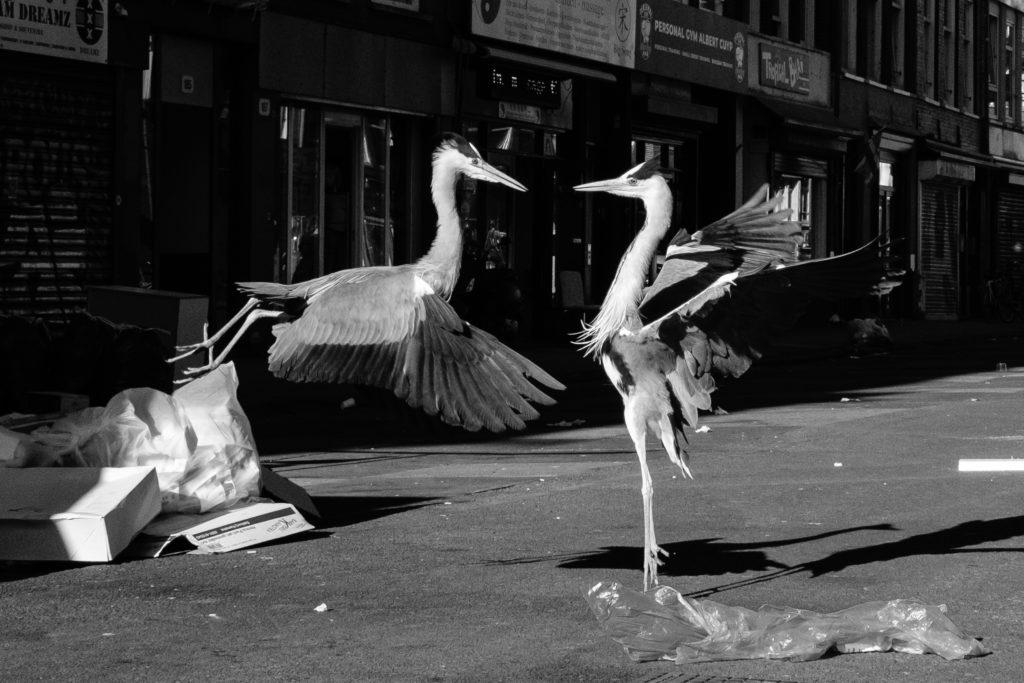 Foto van vechtende reigers, Jantje Geldof
